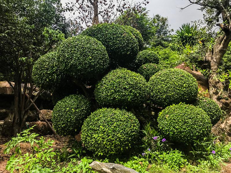 ต้นไม้ริมรั้วสุดเขียว